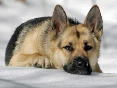 Cute Cool Pets 4u German Shepherd Dogs Pictures