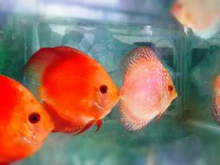 makanan-ikan-discus.jpg