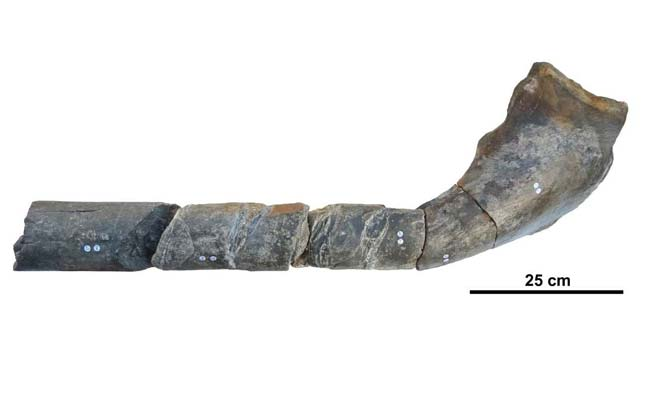 Jaw Fossil
