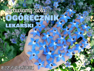 kwiaty ogórecznika