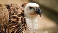 tuteur vautour