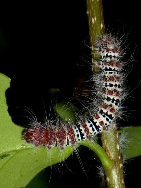 Holocerina species Malawi caterpillar