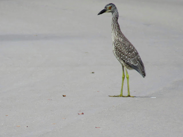 Juvenile Yellow-crowned night heron spotted on Sanibel Island, Florida