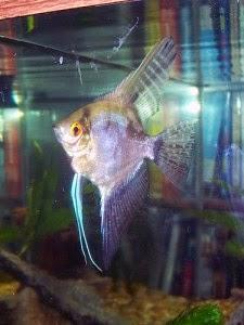 Dunia Ikan Hias - Smokey Manfish