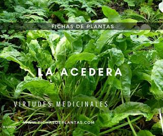 Acedera, Rumex acetosa, Propiedades Medicinales y Comestibles