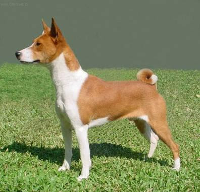 Basenji A Good Family Dog