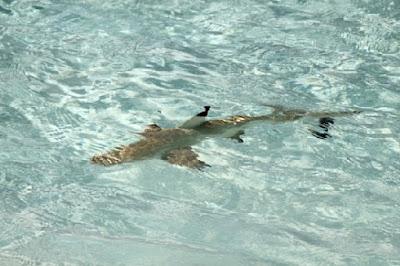 tiburones maldivas