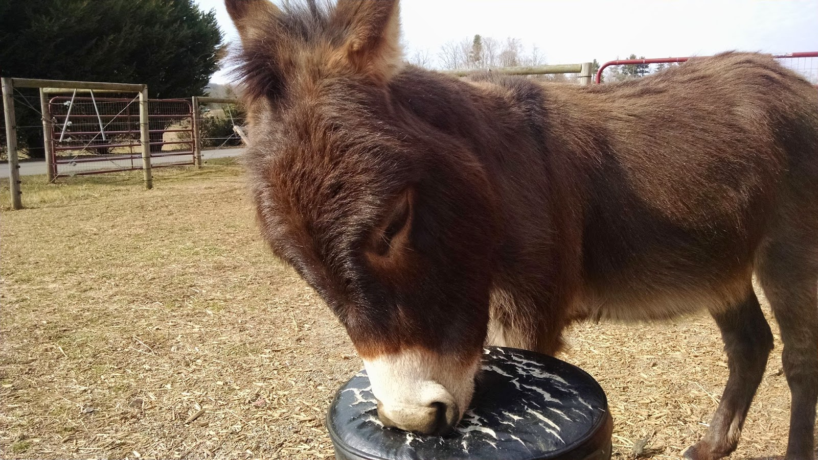 miniature donkey biting cushion on stool