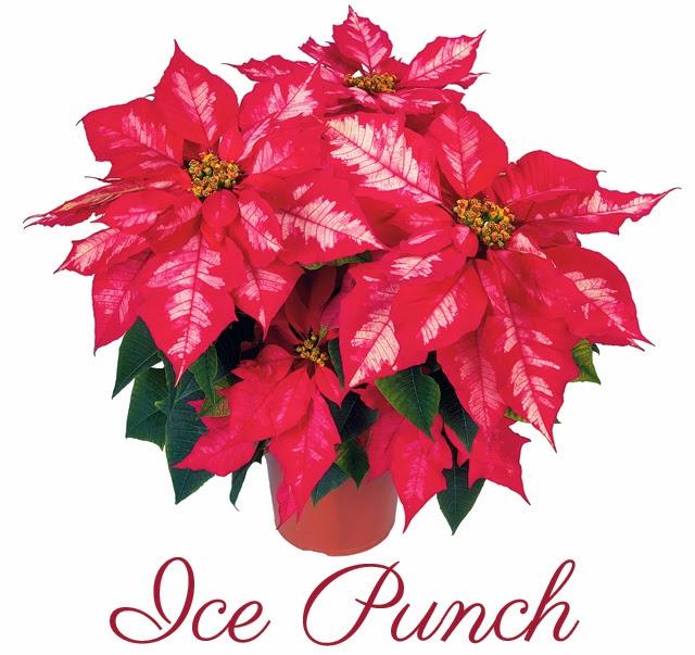 Richmond S Favorite Poinsettia Strange S Florists Greenhouses