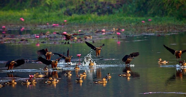 Migratory Birds Of Bangladesh In Jahangirnagar University
