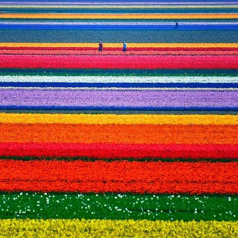 Tulipán földek Hollandiában