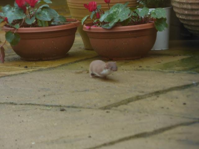 Weasel in my Shropshire garden