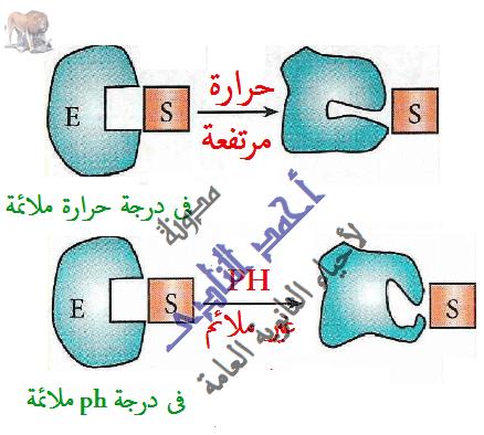الإنزيمات - تأثير درجة الحرارة  - الأس الهيدروجينى - تشوه الموقع الفعال - درجة الحرارة المثلى -  مدونة أحمد النادى- أحياء الثانوية العامة