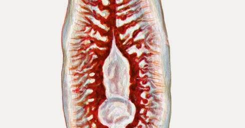 Ciencias de Joseleg: Excreción en los platelmintos