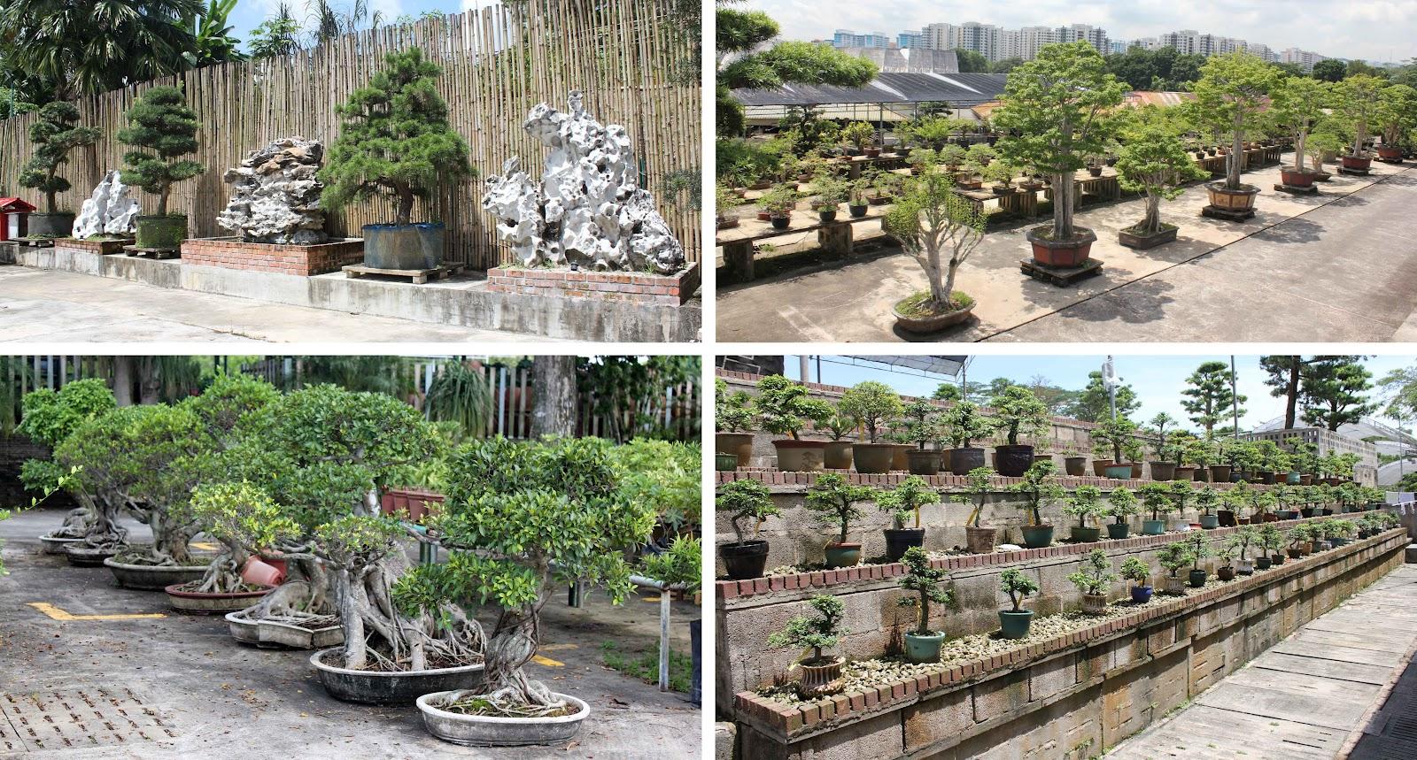 Bonsai Skosh Cheng Tai Nursery Singapore