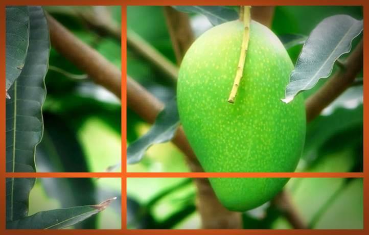 gambar klasifikasi tanaman mangga madu 2016