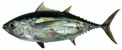 Klasifikasi dan Deskripsi Tuna Mata Besar (Thunnus obesus)