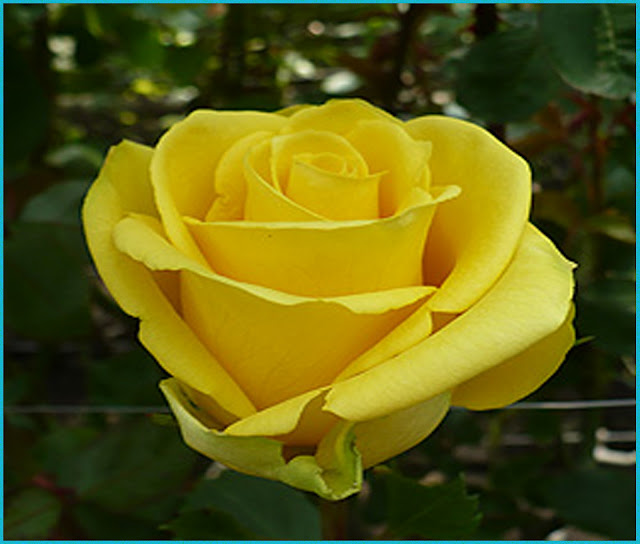Wallpaper Of Yellow Rose: Wallpapers Name: Friendly Yellow Roses And 15 Quotes Must