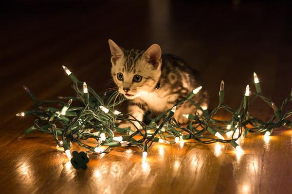 17 chú mèo đáng yêu và ngộ nghĩnh nhất trong mùa Giáng Sinh này