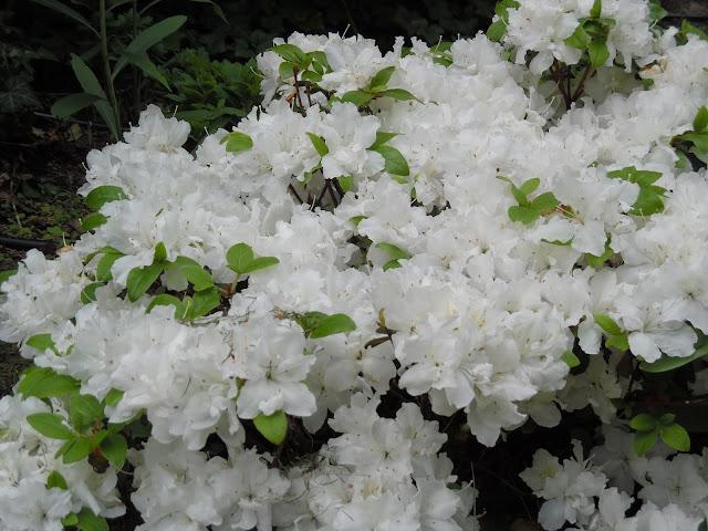 białe kwiaty azalii