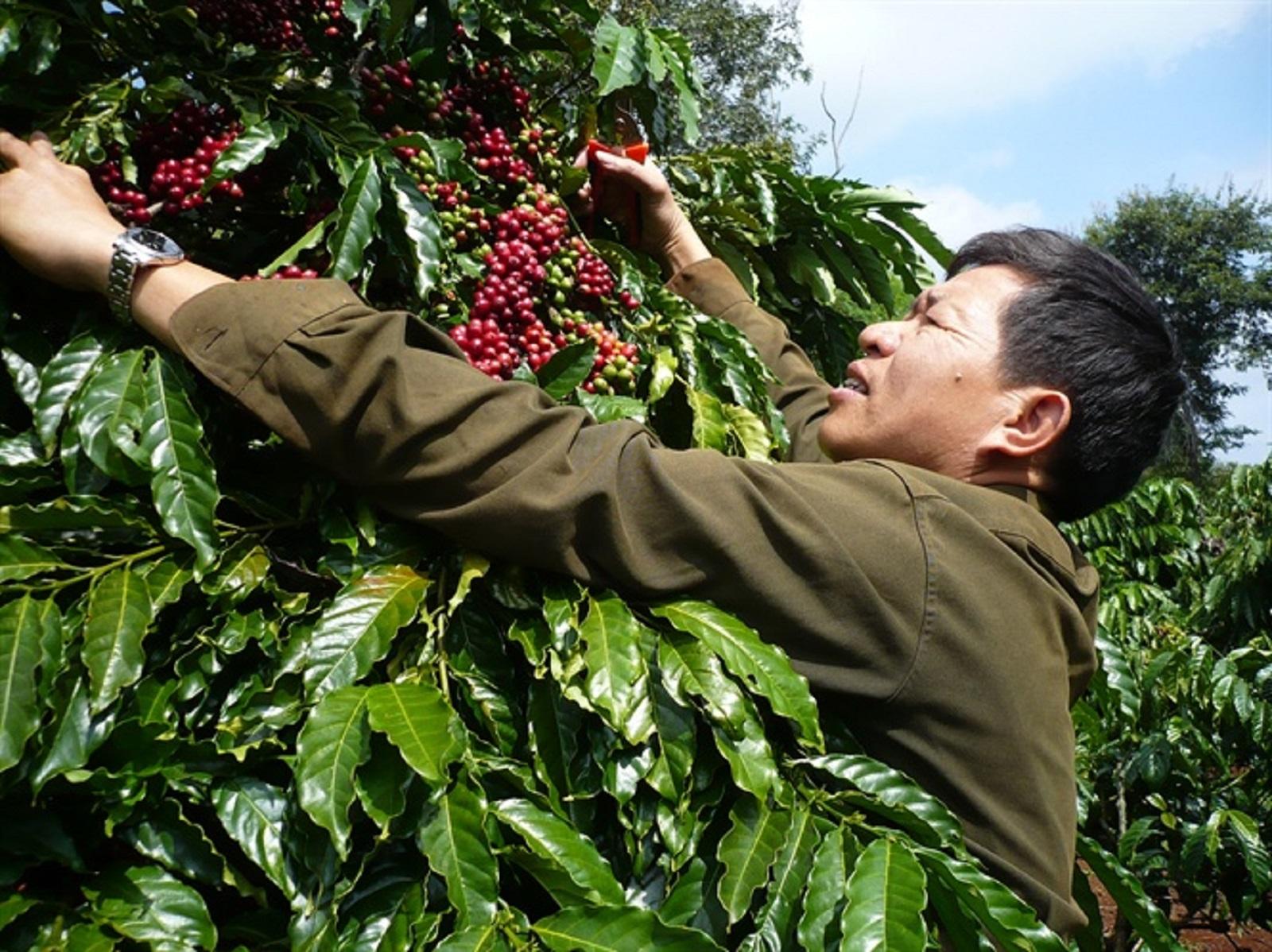 Gia Lai: Sản lượng cà phê sụt giảm mạnh