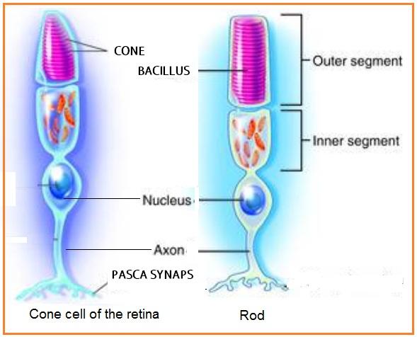 Image result for sel conus dan bacillus