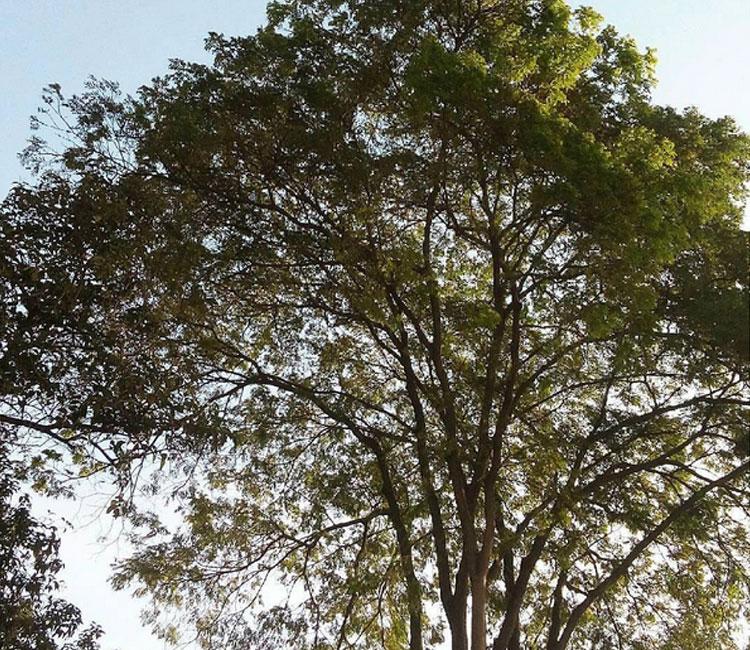Amo as árvores da Vila Ipojuca.