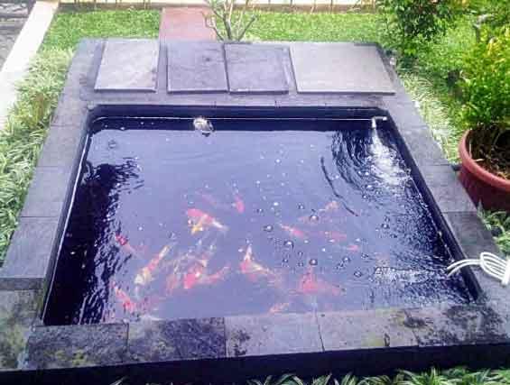 Ikan Koi Mengapa Menguras Atau Mengganti Air Kolam Ikan Koi Di Rumah Malah Ikan Koinya Mati