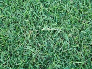 Zoysia Grass vs Centipede Grass