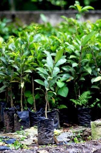 gambar cara menanam bibit tanaman sawo kecik