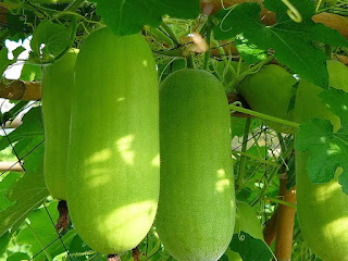 Wax Gourd Fruit Pictures