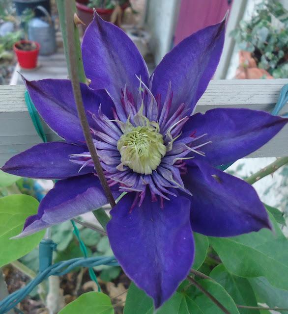 Clematis For The Southwest Cottage Garden, Southwest Garden Plants