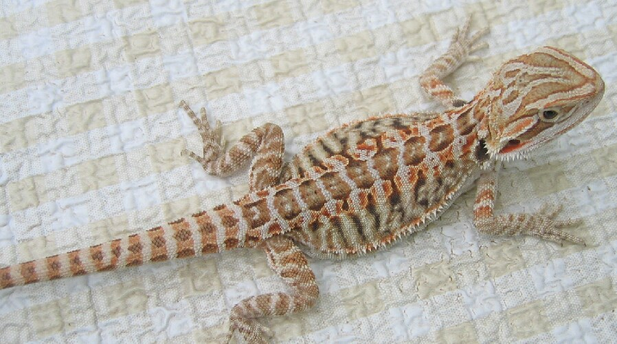 Where do Bearded Dragons Come From? PogoPogona - leatherback bearded dragon