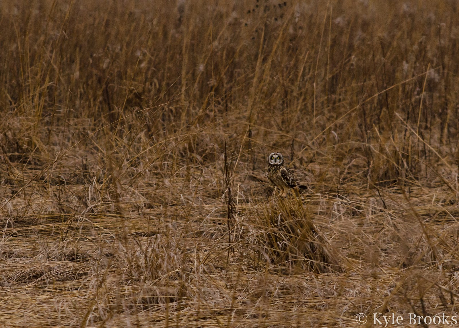 Short-Eared Owl in Field