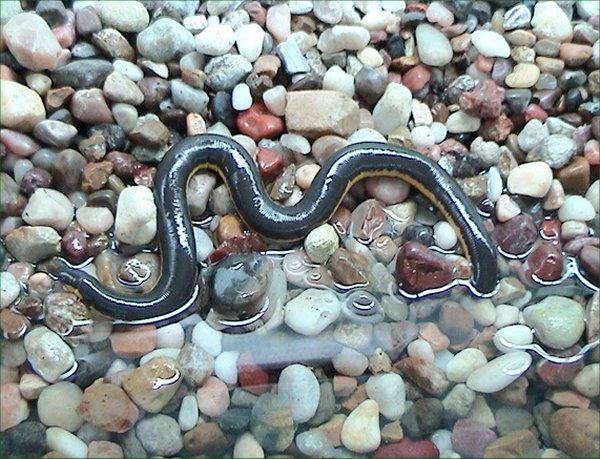 Amphibians: Caecilian