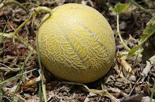 Syarat Tumbuh Melon