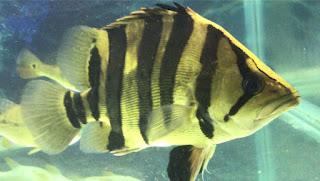 Harga Ikan Datz Borneo
