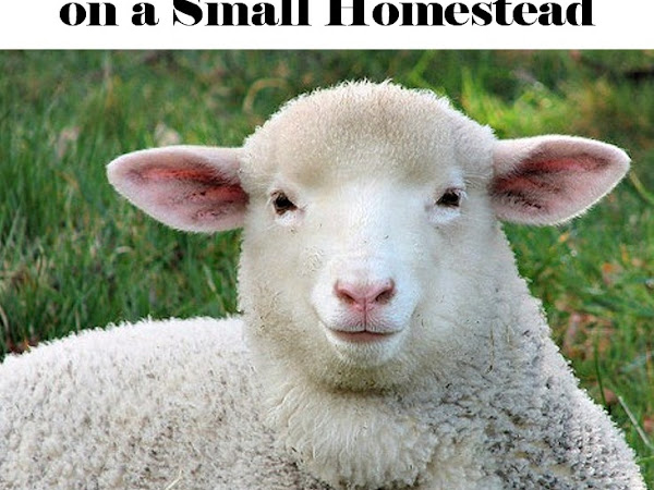 9 Reasons For Sheep on a Small Homestead