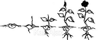Pertumbuhan dan perkembangan tanaman dipengaruhi oleh banyak hormon