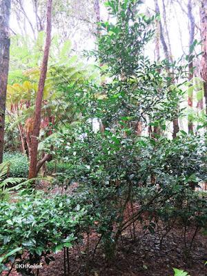 unpruned tea plant