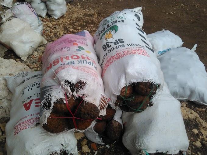 Walur umbi gatal tapi enak | Porang dijual dengan harga 12.000/ kg