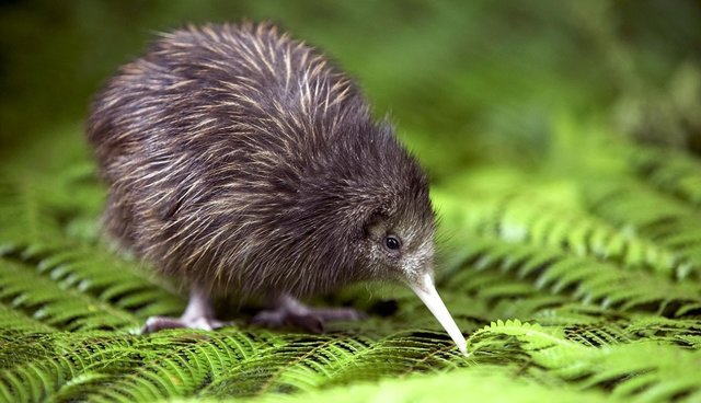 Kiwi Bird Facts And Kiwi In Hindi