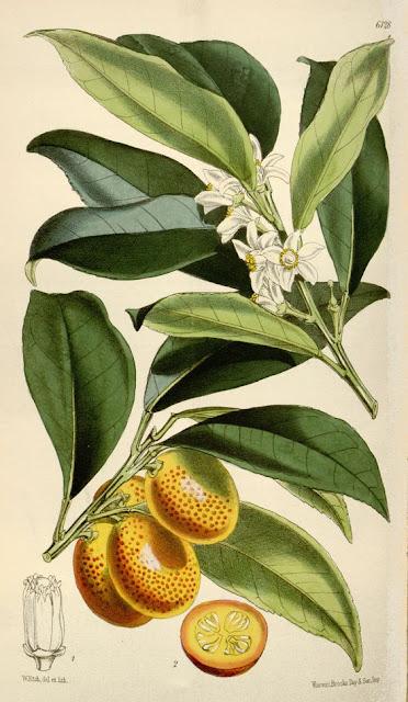 Walter Hood Fitch, Kumquat Fruit and Tree botanical illustration, 1874