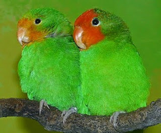 lovebird red faced