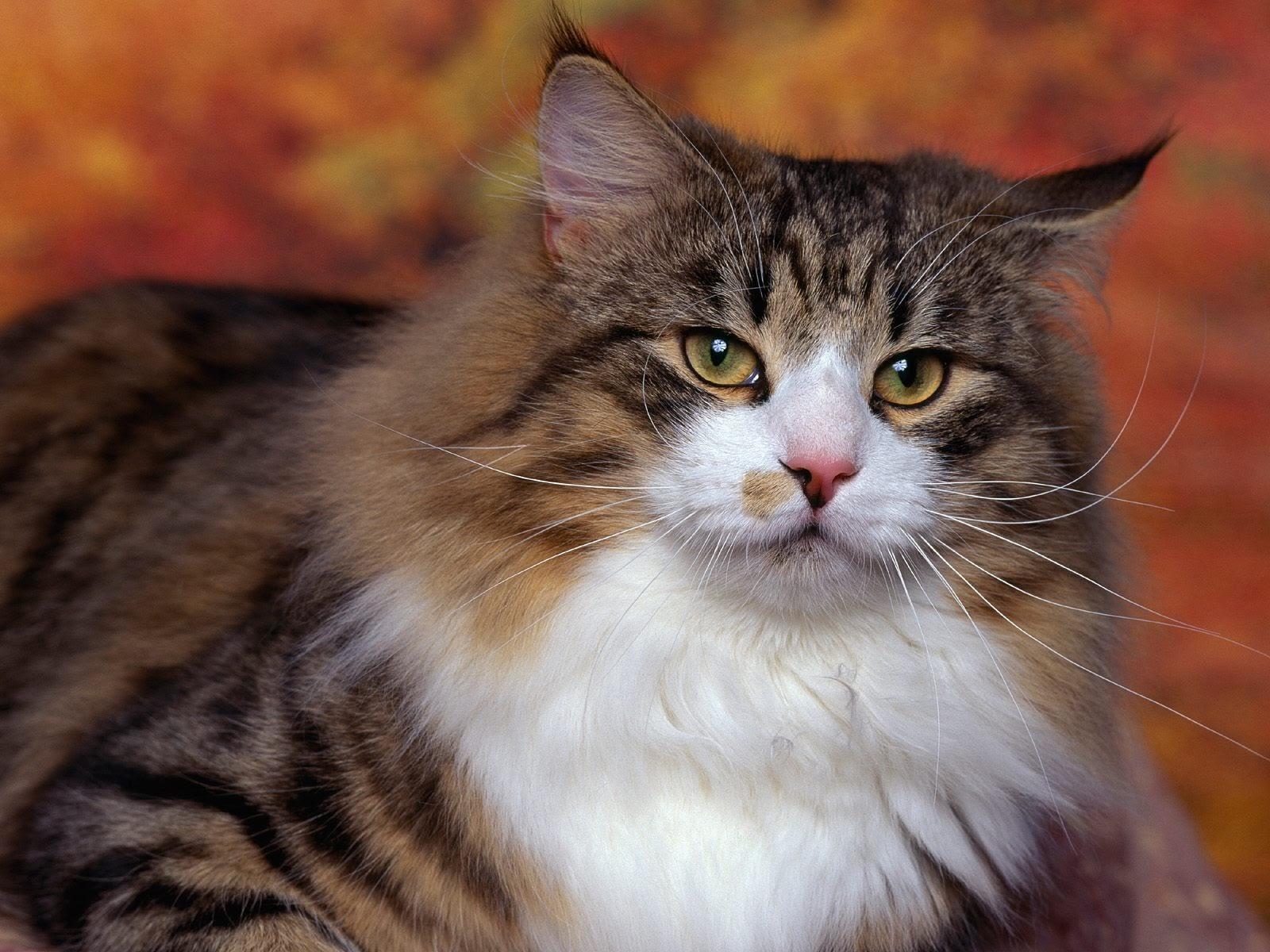 Norwegian Forest Cat | Calico Cats