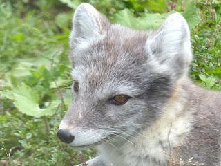 Renard arctique - Renard isatis - Vulpes lagopus