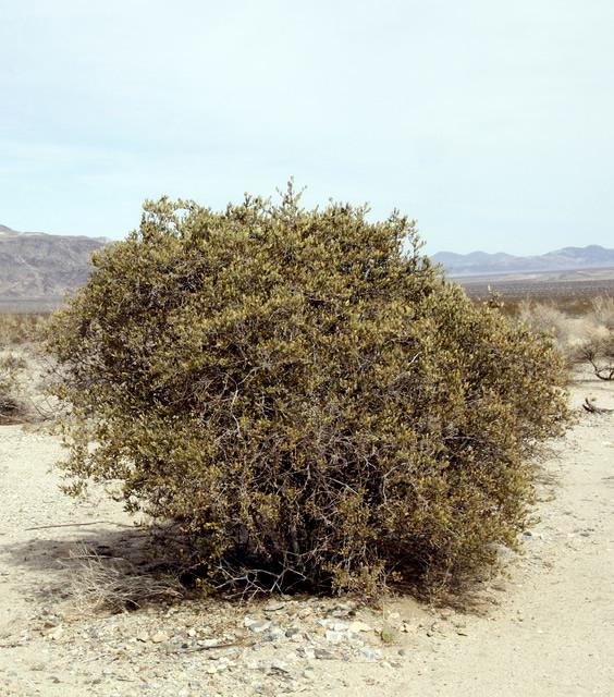Jojoba shrub