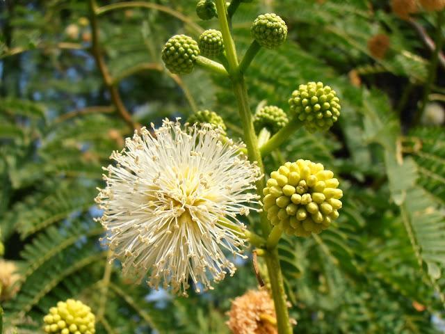 Leucaena Leucaena leucocephala