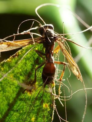 Ophiocordyceps fungus zombie wasp