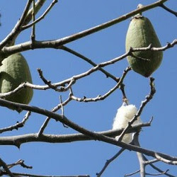 arboles argentinos Palo borracho blanco Ceiba chodatii